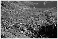 Trees uprooted by the eruption lie pointing away from the blast. Mount St Helens National Volcanic Monument, Washington ( black and white)