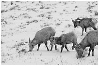 Group of Bighorn sheep in winter. Jackson, Wyoming, USA ( black and white)