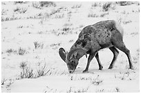 Bighorn sheep grazing on snow-covered slope. Jackson, Wyoming, USA ( black and white)