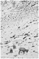Family of Bighorn sheep, winter snow. Jackson, Wyoming, USA ( black and white)
