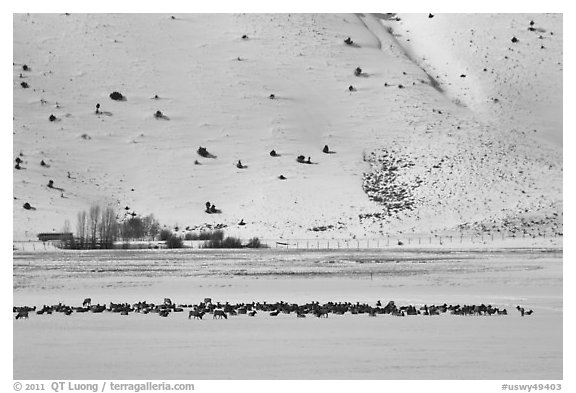 Large elk herd in the distance, National Elk Refuge. Jackson, Wyoming, USA (black and white)