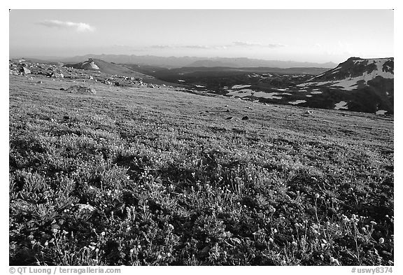 Carpet of alpine flowers, Beartooth Mountains, Shoshone National Forest. Wyoming, USA (black and white)