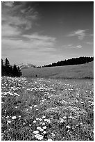 Wildflowers in alpine meadow, Bighorn Mountains, Bighorn National Forest. Wyoming, USA ( black and white)