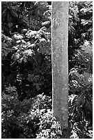 Tropical tree trunk, El Yunque, Carribean National Forest. Puerto Rico (black and white)