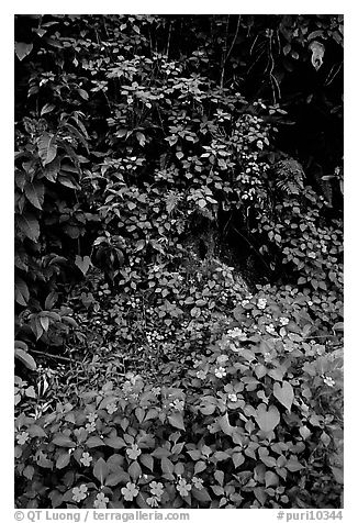Flowers in rain forest undercanopy, El Yunque, Carribean National Forest. Puerto Rico (black and white)