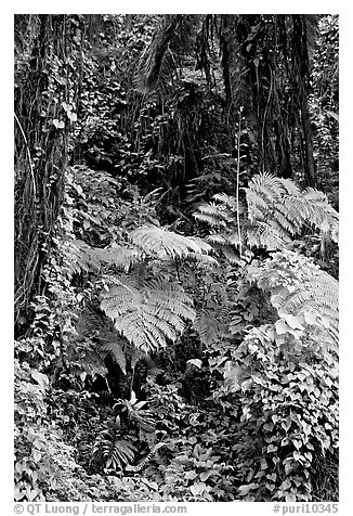 Ferns in rain forest undercanopy, El Yunque, Carribean National Forest. Puerto Rico (black and white)