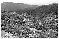 Tropical forest on hillsides. Puerto Rico (black and white)