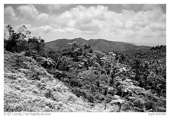 Tropical forest on hill. Puerto Rico (black and white)