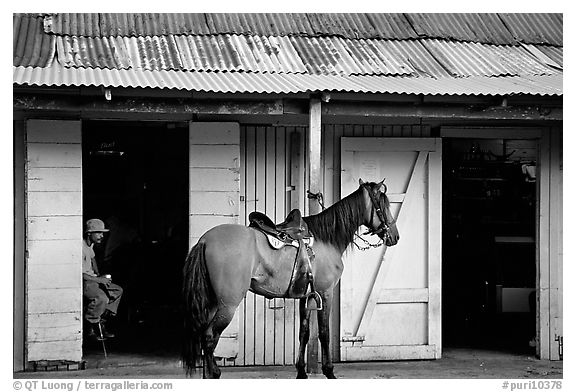 Man sitting inside a bar with a horse parked outside, North East coast. Puerto Rico (black and white)
