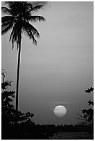 Palm tree at sunset, North East coast. Puerto Rico ( black and white)