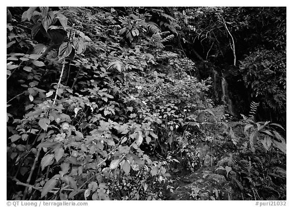 Flowers, lush foliage, and waterfall in rain forest, El Yunque, Carribean National Forest. Puerto Rico (black and white)