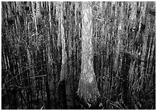 Cypress in dark swamp. Corkscrew Swamp, Florida, USA ( black and white)