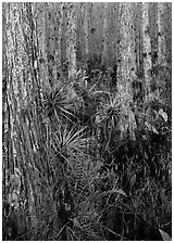 Bromeliads in cypress swamp, Corkscrew Swamp. Corkscrew Swamp, Florida, USA (black and white)