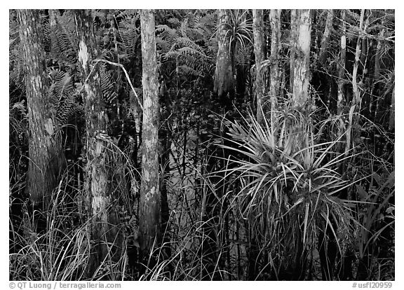 Bromeliads and cypress growing in swamp, Corkscrew Swamp. USA (black and white)