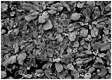 Water lettuce. Corkscrew Swamp, Florida, USA (black and white)