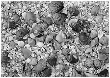 Close-up of shells, Sanibel Island. Sanibel Island, Florida, USA (black and white)
