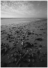 Shells washed-up on shore. Sanibel Island, Florida, USA (black and white)