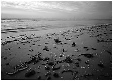 Shells and seaweeds freshly deposited on beach, Sanibel Island. Sanibel Island, Florida, USA (black and white)