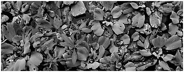 Swamp aquatic plants close-up. Corkscrew Swamp, Florida, USA (Panoramic black and white)