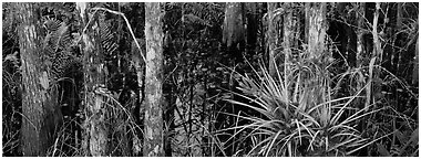 Bromeliad in swamp landscape. Corkscrew Swamp, Florida, USA (Panoramic black and white)