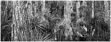 Swamp landscape with flowers. Corkscrew Swamp, Florida, USA (Panoramic black and white)