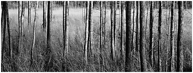 Landscape with trees and grasses. Corkscrew Swamp, Florida, USA (Panoramic black and white)