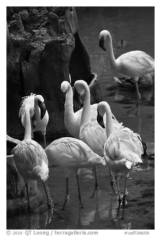 Pink flamingos, Animal Kingdom Theme Park, Walt Disney World. Orlando, Florida, USA (black and white)