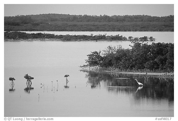 Wading bird at sunset. The Keys, Florida, USA (black and white)