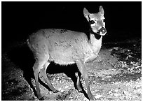 Endangered Key Deer at night, Big Pine Key. The Keys, Florida, USA (black and white)