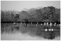 Pond with wading birds, Ding Darling NWR. Sanibel Island, Florida, USA (black and white)