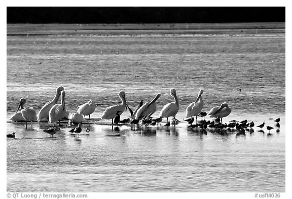 Pelicans and smaller birds, Ding Darling National Wildlife Refuge, Sanibel Island. Florida, USA (black and white)