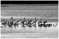 Pelicans and smaller birds, Ding Darling National Wildlife Refuge. Sanibel Island, Florida, USA (black and white)