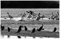 Pelicans splashing, smaller birds standing,  Ding Darling NWR. Sanibel Island, Florida, USA (black and white)