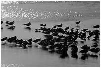 Flock of migrating birds, Ding Darling National Wildlife Refuge. Sanibel Island, Florida, USA (black and white)