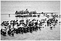 Large gathering of birds, Ding Darling National Wildlife Refuge. Sanibel Island, Florida, USA (black and white)