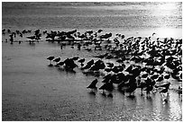 Large flock of birds at sunset, Ding Darling NWR. Florida, USA (black and white)