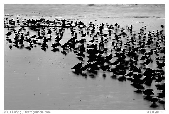 Flock of birds with sunset colors reflected, Ding Darling NWR, Sanibel Island. Florida, USA (black and white)