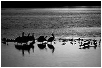 Pelicans and other birds at sunset, Ding Darling NWR. Sanibel Island, Florida, USA (black and white)