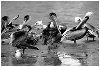 Pelicans. Sanibel Island, Florida, USA (black and white)