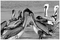 Pelicans, Sanibel Island. Florida, USA (black and white)