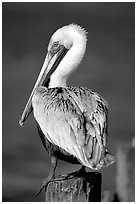Pelican perched on pilar. Sanibel Island, Florida, USA (black and white)