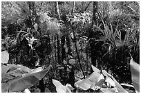 Water plants. Corkscrew Swamp, Florida, USA (black and white)