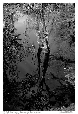 Cypress reflected in dark swamp. Corkscrew Swamp, Florida, USA (black and white)