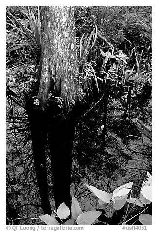 Large cypress reflected in swamp. Florida, USA (black and white)