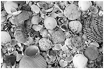 Shells close-up. Sanibel Island, Florida, USA (black and white)