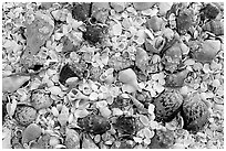 Sea shells close-up. Sanibel Island, Florida, USA (black and white)