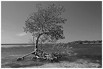 Red Mangrove growing in water, West Summerland Key. The Keys, Florida, USA (black and white)