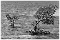 Mangroves and coral, West Summerland Key. The Keys, Florida, USA (black and white)