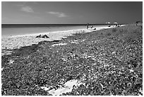 Dune vegetation, Sandspur Beach, Bahia Honda State Park. The Keys, Florida, USA (black and white)