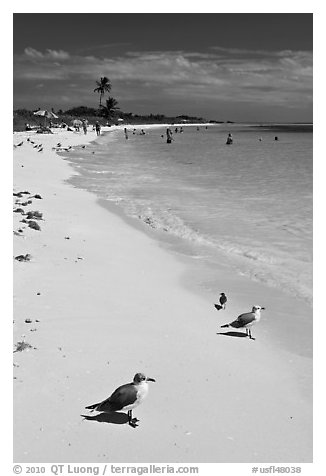 Seabirds, Sandspur Beach, Bahia Honda State Park. The Keys, Florida, USA (black and white)